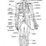 Learn About The Human Body , 8 Physiology Class In Organ Category