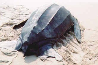 Leatherback Sea Turtle in Cell