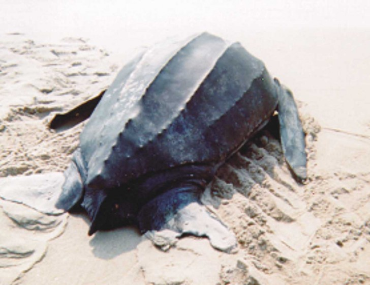 Reptiles , 6 Leatherback Turtle Facts : Leatherback Sea Turtle