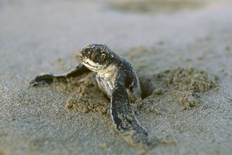 Leatherback Sea Turtle Babies , 6 Leatherback Turtle Facts In Reptiles Category
