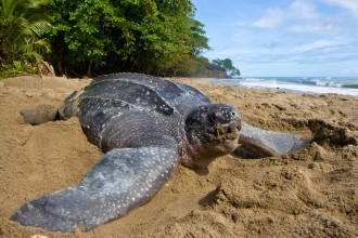 Leatherback Sea Turtle Photo , 6 Leatherback Turtle Facts In Reptiles Category