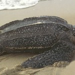 Leatherback sea turtles , 6 Leatherback Turtle Facts In Reptiles Category