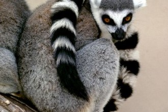 Lemur Facts , 6 Ring Tailed Lemur Facts In Mammalia Category