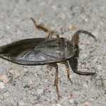 Lethocerus americanus , 6 Water Bug Beetle In Bug Category