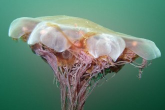 Lion's Mane Jellyfish Information , 6 Lion Mane Jellyfish Photos In Marine Category