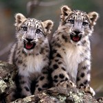 Little Snow Leopard , 7 Pics Of Snow Leopards In Mammalia Category
