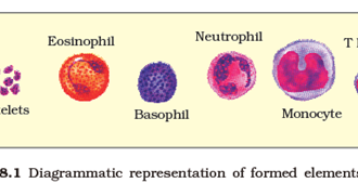 Lymphocytes And Phagocytes Difference , 6 Pictures Of Two Types Lymphocytes In Cell Category