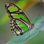 Malachite Butterfly , 7 Malachite Butterfly Facts In Butterfly Category