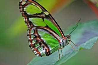 Malachite Butterfly in Spider