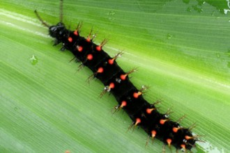 Malachite Butterfly Life Cycle , 4 Malachite Butterfly Caterpillar Photo In Butterfly Category