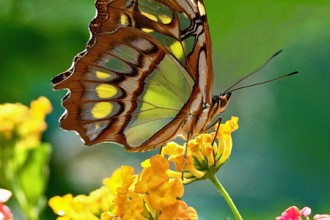Malachite Butterfly On Lantana , 7 Malachite Butterfly Facts In Butterfly Category