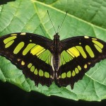 Malachite Butterfly photo gallery , 7 Malachite Butterfly Facts In Butterfly Category