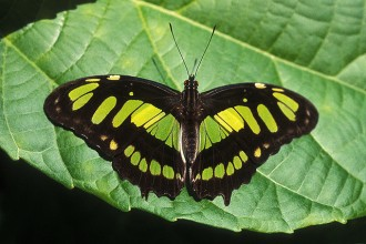 Malachite Butterfly photo gallery in Plants