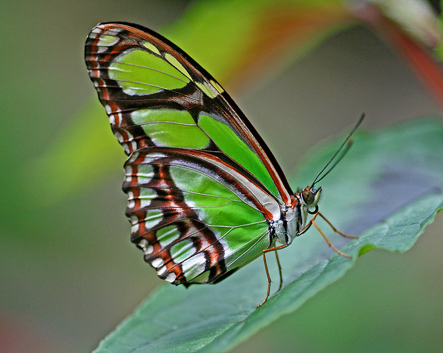 Butterfly , 7 Malachite Butterfly Facts : Malachite Butterfly