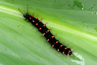 Butterfly , 4 Malachite Butterfly Caterpillar Photo : Malachite Caterpillar
