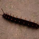Malachite butterfly caterpillar  , 4 Malachite Butterfly Caterpillar Photo In Butterfly Category