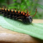 Malachite butterfly caterpillar photo , 4 Malachite Butterfly Caterpillar Photo In Butterfly Category