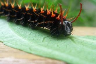 Malachite Butterfly Caterpillar Photo , 4 Malachite Butterfly Caterpillar Photo In Butterfly Category