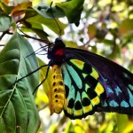 Male Cairns Birdwing Photo , 8 Cairns Birdwing Butterfly Facts In Butterfly Category