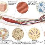 Mammalian tissues , 5 Main Tissue Types Found In The Human Body In Cell Category