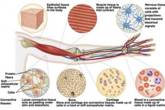 Mammalian tissues in Animal