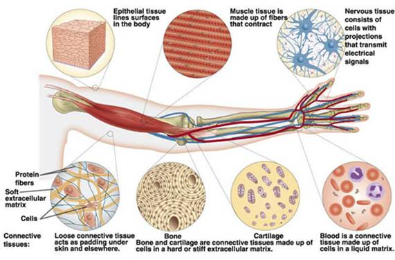 Cell , 5 Main Tissue Types Found In The Human Body : Mammalian Tissues
