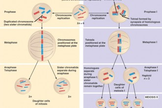 Meiosis And Mitosis Comparison Worksheet , 8 Meiosis Internet Lesson In Cell Category