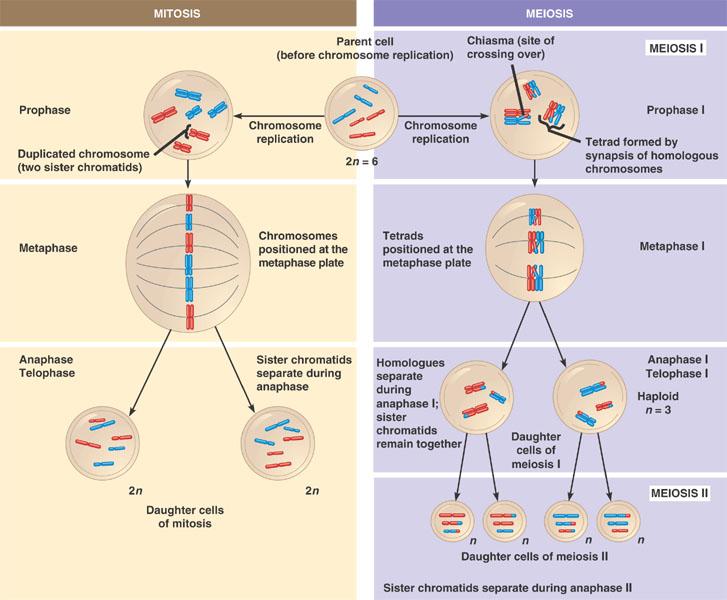 Meiosis And Mitosis Comparison Worksheet 8 Meiosis Internet – Meiosis Diagram Worksheet