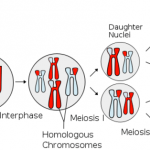 Meiosis Stages Worksheet , 8 Meiosis Internet Lesson In Cell Category