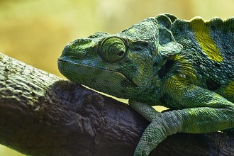 Meller's Chameleon Photo , 6 Mellers Chameleon Photos In Reptiles Category