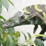 Meller Chameleon , 6 Mellers Chameleon Photos In Reptiles Category