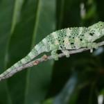Meller Chameleon Fact , 6 Mellers Chameleon Photos In Reptiles Category