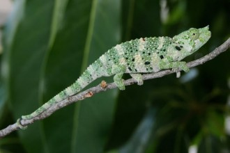 Meller Chameleon Fact in Reptiles