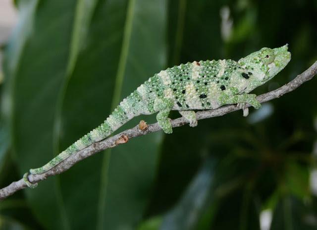 Reptiles , 6 Mellers Chameleon Photos : Meller Chameleon Fact