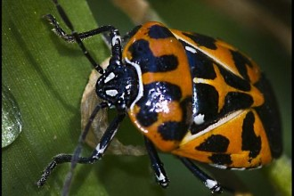 Murgantia Histrionica , 6 Beetle Type Bugs In Bug Category