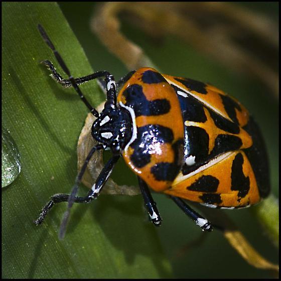 Bug , 6 Beetle Type Bugs : Murgantia Histrionica