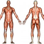 Muscle System Diagram Not Labeled , 6 Muscular System Pictures Labeled In Muscles Category