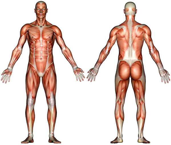 muscle system diagram not labeled : 6 muscular system pictures, Muscles