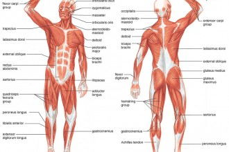labeled diagram of muscular system – citybeauty, Muscles