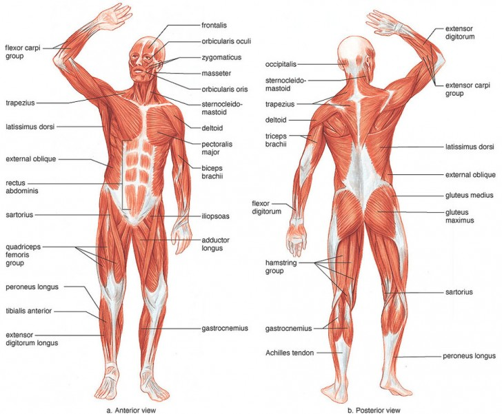 Muscles , 6 Muscular System Pictures Labeled : Muscular System Picture