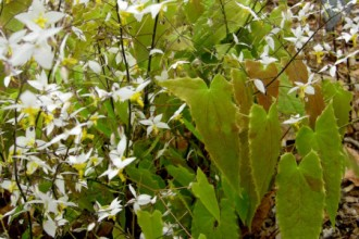 Narrow Leaf Forms , 6 Epimedium Leaf Photos In Plants Category