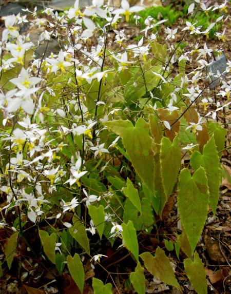 Plants , 6 Epimedium Leaf Photos : Narrow Leaf Forms