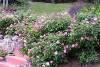 Nearly Wild Roses , 8 Pruning Wild Roses In Plants Category