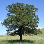 Oak Tree , 6 Oak Tree Photos In Plants Category