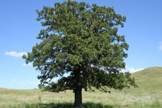 Oak Tree in Dog