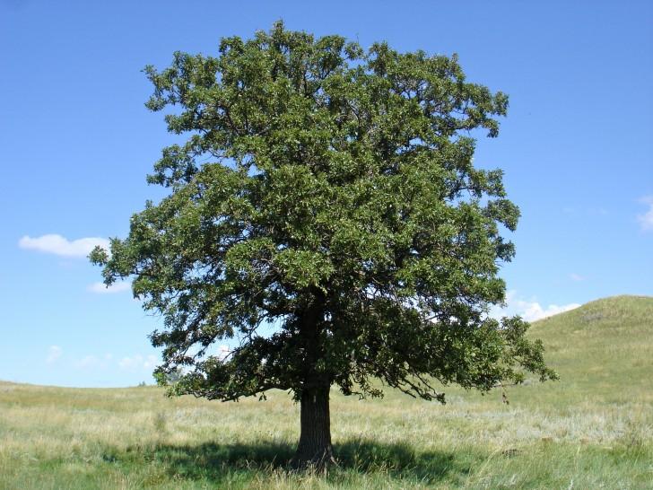 Plants , 6 Oak Tree Photos : Oak Tree
