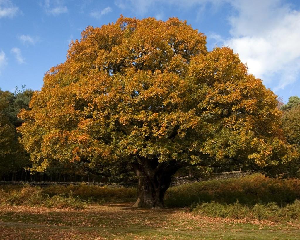 Oak Trees Facts