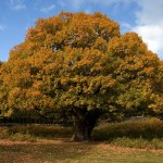 Oak Trees Facts , 6 Oak Tree Photos In Plants Category