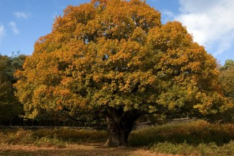 Plants , 6 Oak Tree Photos : Oak Trees Facts