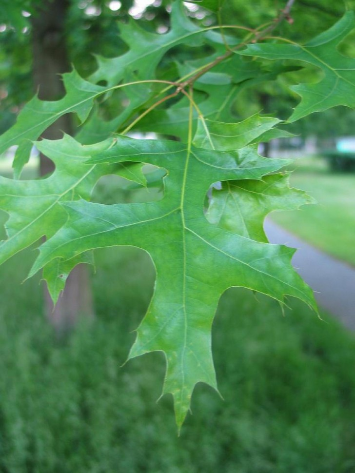 Plants , 6 Oak Tree Leaves : Oaks Layout Map And Tree Facts